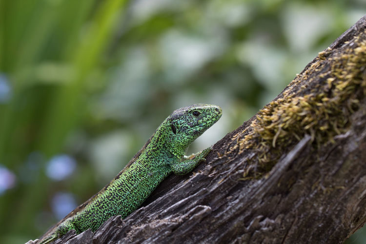 Close-up Day Focus On Foreground Green Color Lacerta Agilis Lizard Nature No People One Animal Outdoors Reptile Sand Lizard Tree Trunk