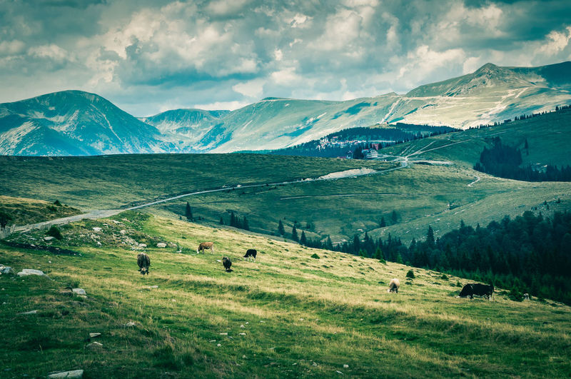 Animal Themes Cloud - Sky Cow Cows Domestic Animals Field Grass Grazing Landscape Large Group Of Animals Mammal Mountain Mountain Range Nature Nature No People Outdoors Romania Scenics Sky