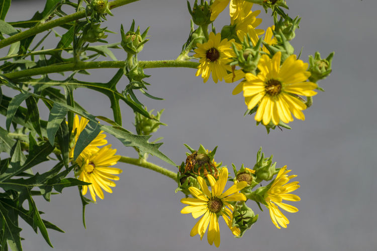 Dark Yellow Daisy Beauty In Nature Close-up Day Flower Flower Head Flowering Plant Focus On Foreground Fragility Freshness Green Color Growth Inflorescence Nature No People Outdoors Petal Plant Plant Part Summer Vulnerability  Yellow