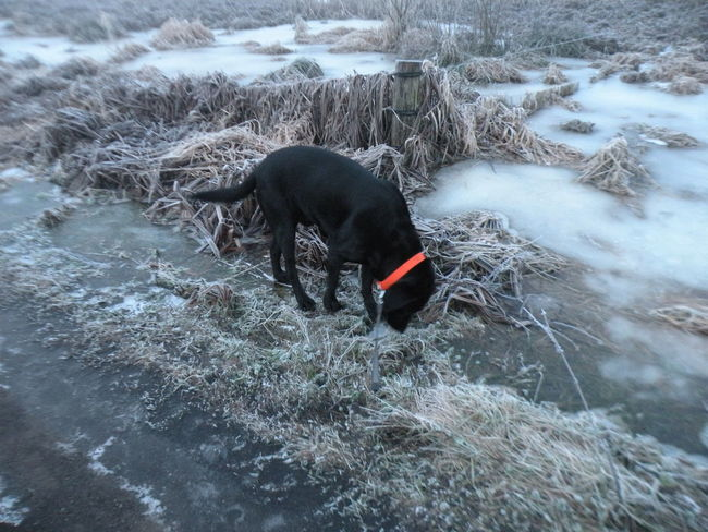 Black Labrador with red collar on a frosty morning in the Danish countryside - One Animal Animal Themes Nature Water Day Outdoors Tranquility Non-urban Scene Stream Beauty In Nature Animal Behavior No People Scenics TakeoverContrast in the Countryside of the island of Zealand in Denmark