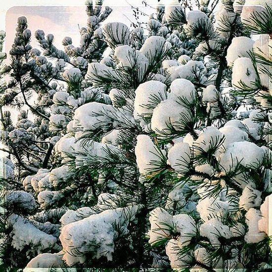 Halden Snow Lovely Cold Wintermorning Nrkøstfold Greysky Norway Sne Contrast White Green Grønt Trees Trær Light Nrkjul