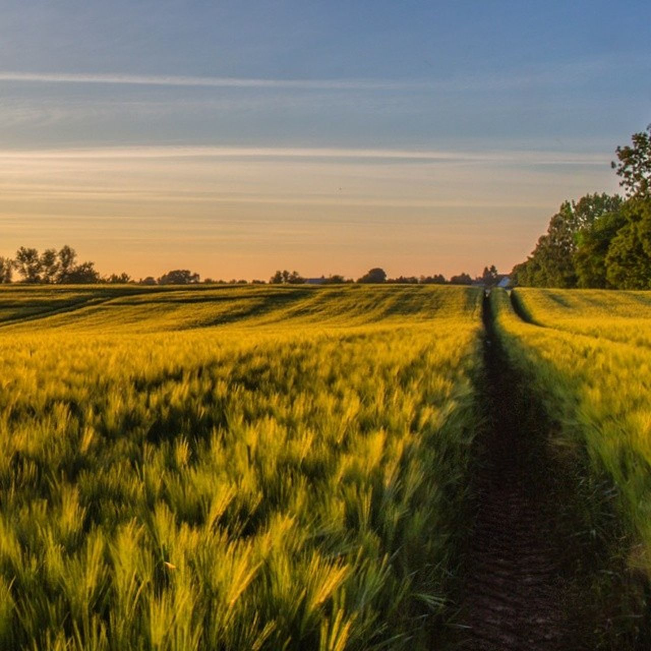 field, nature, landscape, beauty in nature, tranquil scene, scenics, growth, tranquility, grass, sky, tree, green color, no people, sunset, agriculture, outdoors, rural scene, yellow, day