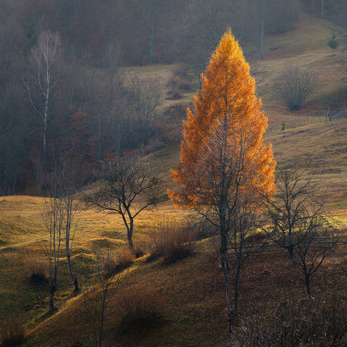 Orange Color Larix Larch Tree Larch Apachioara Tree Plant Autumn Tranquility Land Nature Tranquil Scene Change No People Beauty In Nature Bare Tree Landscape Forest Environment Non-urban Scene Scenics - Nature Day Field Growth Branch Outdoors