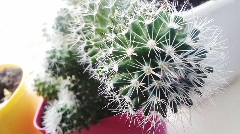 кактус Иголки белый белые иголки белый кактус