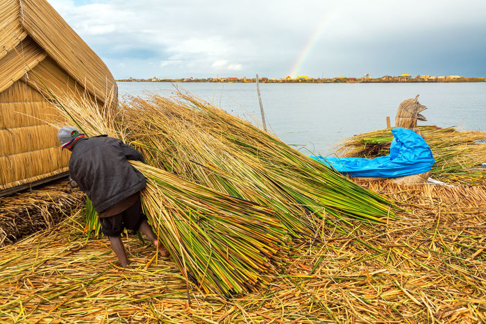 Man working on the Uros Floating Islands on Lake Titicaca with a rainbow in the background Aymara Day Floating Indigenous  Island Lake Lake Titicaca Nature Outdoors Peru Peruvian Plant Reed Reeds Sky South America Titicaca Totora Tourism Travel Travel Destinations Uros Uros Floating Islands Uros Island Uros Islands