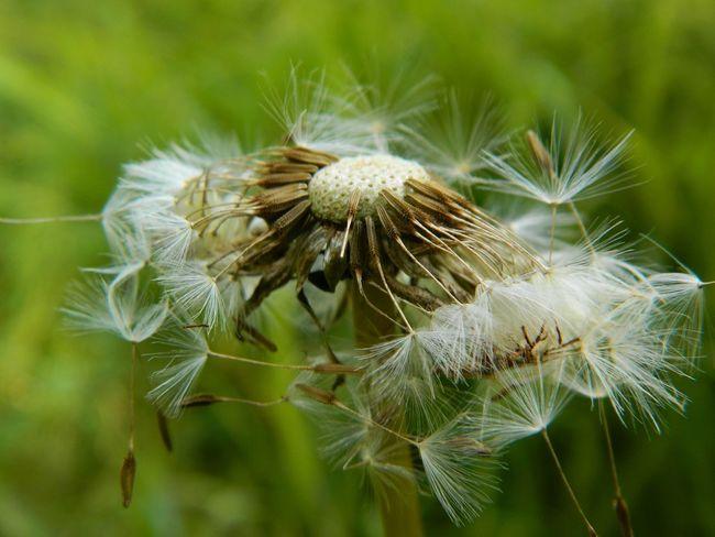 diente de león Flower Thistle Close-up Plant Flower Head Pollen Passion Flower Single Flower