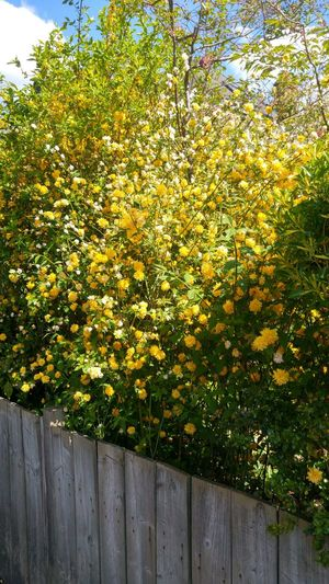 Beauty In Nature Blue Sky White Clouds Background Day Fence Freshness Growth Nature No People Outdoors Over The Fence Shrub Tree Yellow Flowers