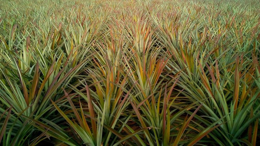 Green Color Plant Land Agriculture Growth Beauty In Nature Nature Tranquility Full Frame Crop  Farm Landscape Outdoors Plantation Blade Of Grass Backgrounds Wall Art Concept Pineapple Market Wildlife & Nature Pattern Texture Close Up Backdrop