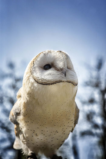 Close-up of barn owl against sky