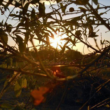 Sun Sunset Sunshine Nature Leaves Tree Peach Peachtree
