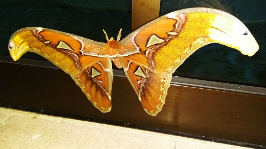 Giant moth @ Atticus atlas in Malaysia Giant Moth Atticus Atlas Giant Butterfly