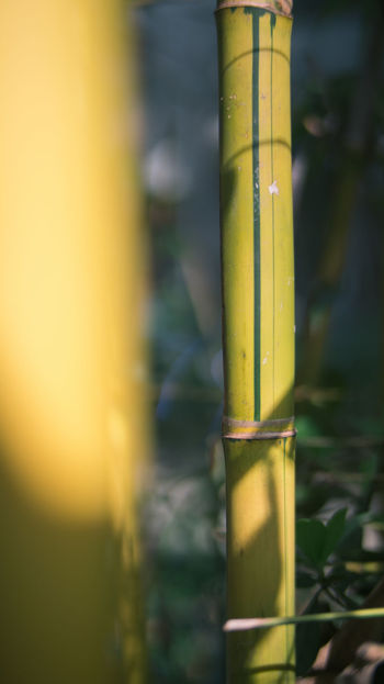 Bamboo Growth Plants Sunline Traveling Yellow