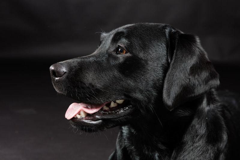 A gorgeous black Labrador retriever named Dakota. Animal Head  Black Color Close-up Dog Labrador Retriever No People Pet Studio Shot