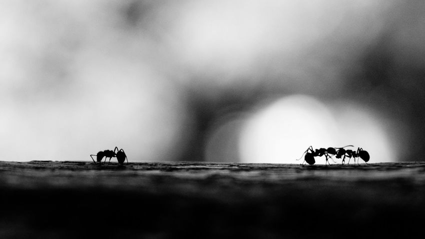 Insect Ant Ants Close-up Silhouette Heart Broken Hurt Hurted Heartache Happy Happiness Happy Moment Couple Love Strong Photography Insect Photography Photography In Motion Photooftheday Photowalk