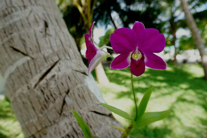 Maldives Orchid Flower Nature Close-up Day Outdoors Beauty In Nature Plant