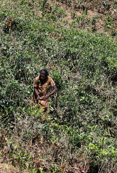 100mm Day Field Ground Nanu Oya Nature Outdoors Plant Sri Lanka Tea Plantation  Woman