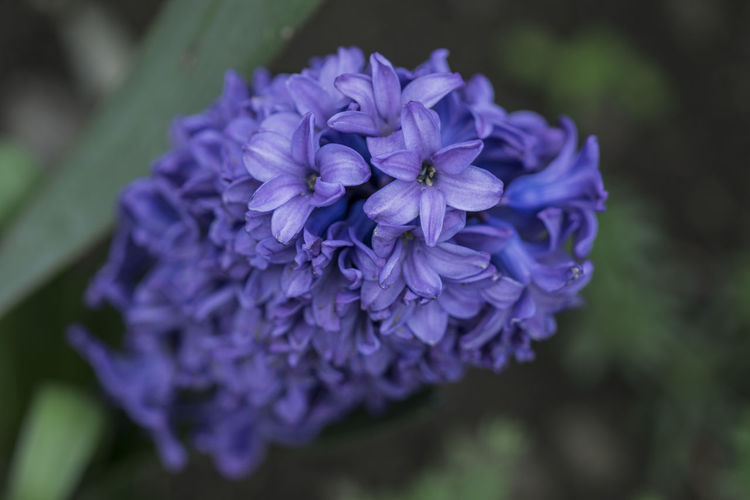 Beauty In Nature Blooming Close-up Flower Flower Head Garden Flower Hyacinthus Orientalis Macro Nature Outdoors Purple
