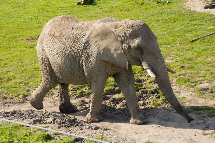 African Elephant Animal Themes Animal Trunk Animal Wildlife Animals Animals In Captivity Animals In The Wild Day Elephant Elephant Calf Field Full Length Green Mammal Nature No People One Animal Outdoors Safari Safari Animals Side View Sunlight Walking Zoo