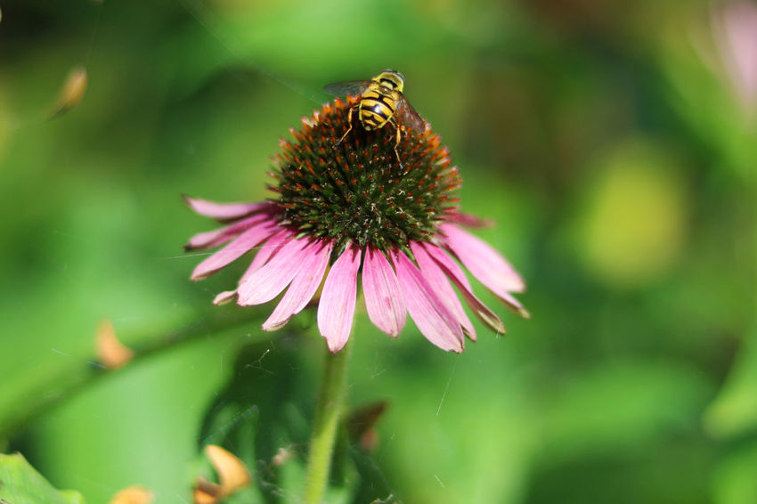 Animal Themes Animals In The Wild Beauty In Nature Blooming Close-up Coneflower Day Eastern Purple Coneflower Flower Flower Head Focus On Foreground Fragility Freshness Green Color Growth Nature No People One Animal Outdoors Petal Plant Perspectives On Nature EyeEmNewHere