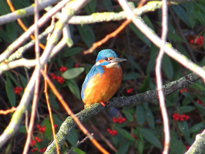 Kingfisher Animal Animal Themes Animal Wildlife Animals In The Wild Beauty In Nature Bird Branch Close-up Day Focus On Foreground Male Kingfisher Nature No People One Animal Orange Color Perching Plant Selective Focus Sunlight Tree Vertebrate