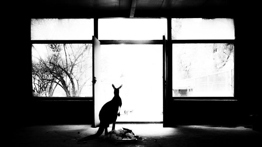 一离蓝天绿草,四壁困却楚囚,脚下虽有吃食,放眼总向自由。 Animal Cangaroo Door Light Sitting Black And White Zoo Indoors