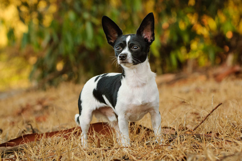 Chihuahua dog standing in field One Animal Domestic Animals Pets Portrait Dog Canine Field Nature No People Day Small Chihuahua Standing Nature