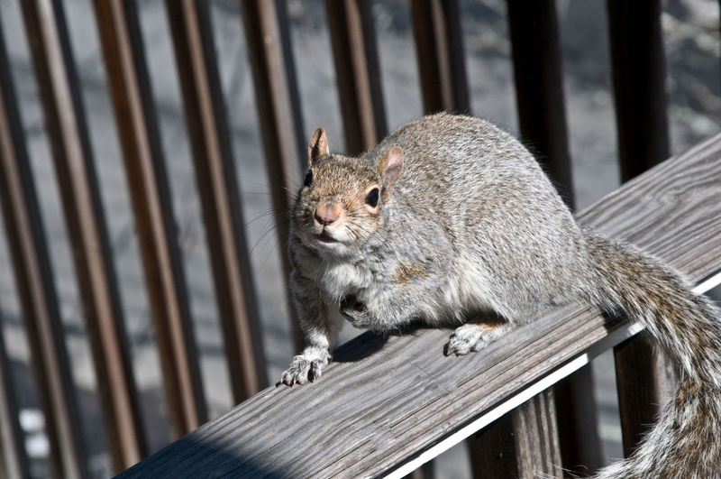 Portrait of gray squirrel on railing against fence