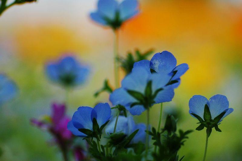 ネモフィラ Flowers Relaxing Flower Collection Love ♥ EyeEm Flower EyeEm Nature Lover Wildflowers
