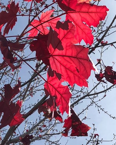 Red leaf Autumn Leaf Change Nature Branch Beauty In Nature Low Angle View