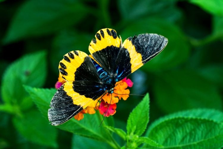 橙帶藍尺蛾 Flower