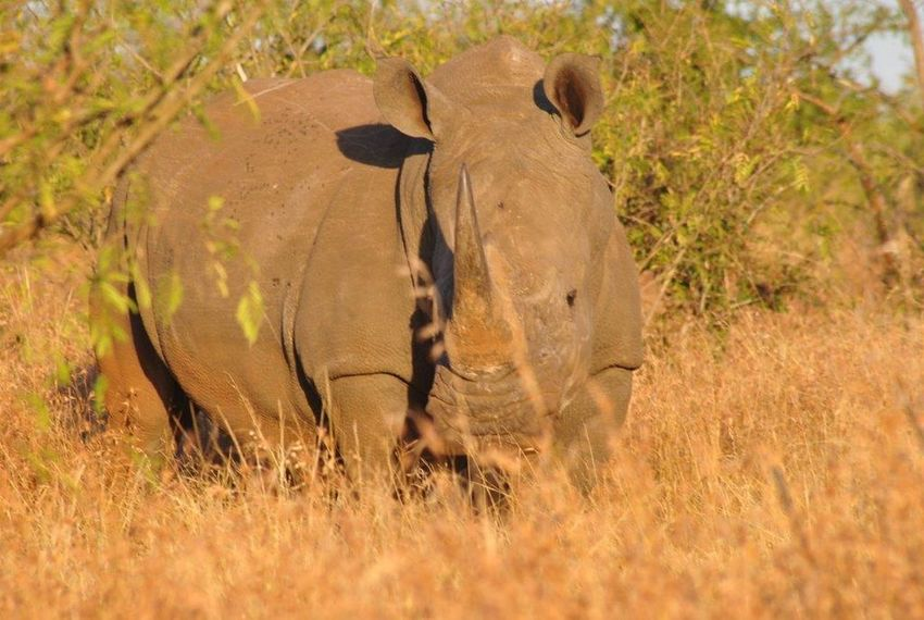 Rhino Krugernationalpark Nature