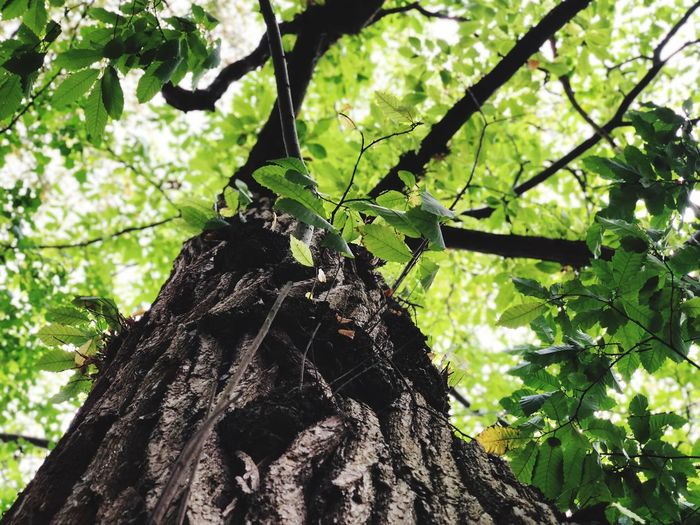 Plant Tree Growth Nature Low Angle View Tree Trunk Trunk No People Forest Green Color Outdoors Plant Part Leaf Branch