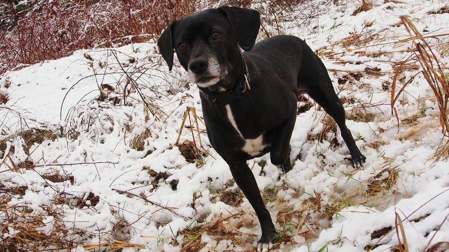 Snow❄⛄ EmmathedogB&W Ready Steady Go! Relaxed Dog Torino