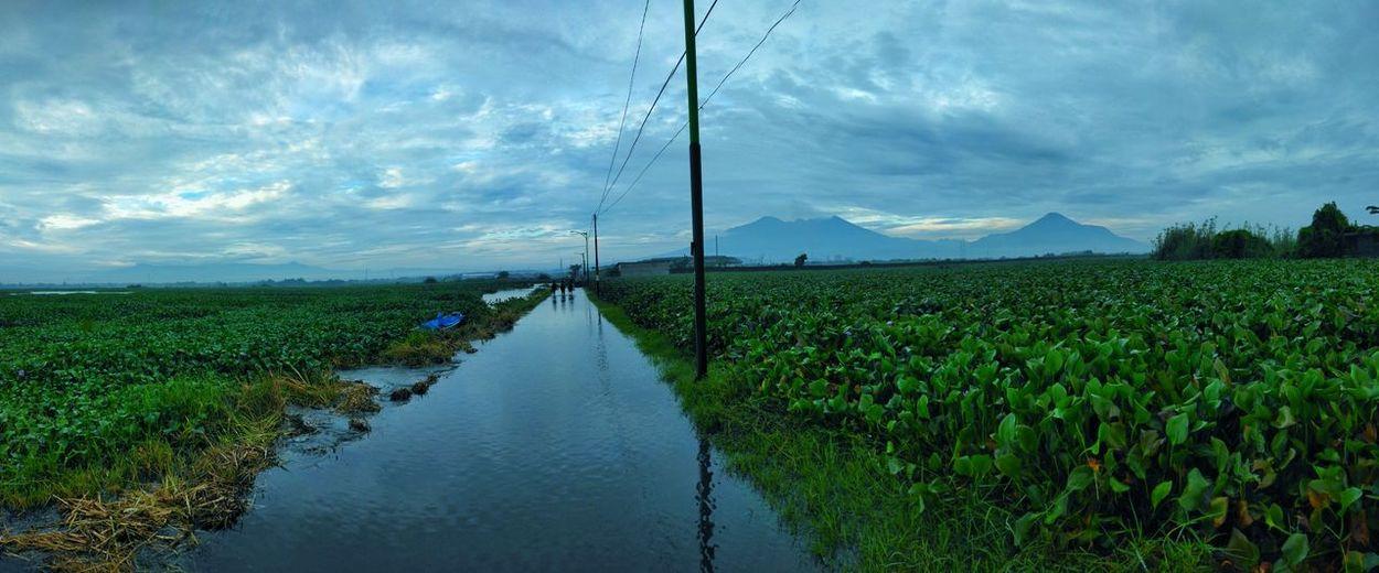 Water Rice