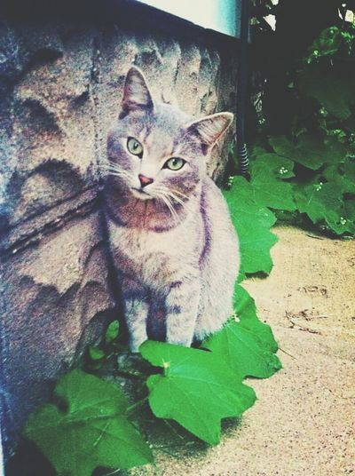 This is Charlie, he and his brother are strays we took care of. Bashful little things :) Cat Cats Cat Lovers Catoftheday Cats Of EyeEm Sioux City Adorable Green Eyes Grey Beautiful