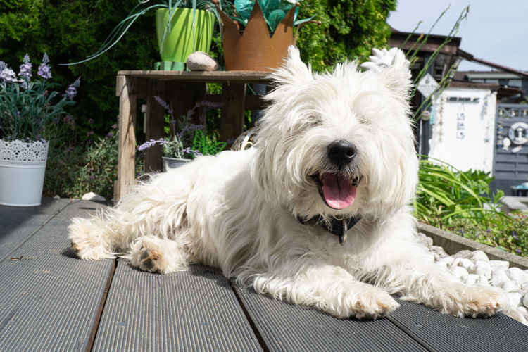West Highland White Terrier is lying on the terrace in the sun Dog White Terrier Pedigree Highland Terrace Sun Lying Young Beautiful Funny Domestic Small Green Happy Summer West Cute Outdoor Animal Mammal Adorable Pet Canine Breed Purebred Outdoors Outside Westie Portrait Pets Domestic Animals One Animal West Highland White Terrier White Color Relaxation Mouth Open Looking At Camera Animal Themes No People