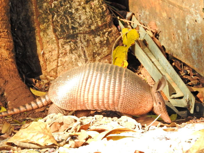 Armadillo Armadillophotography Close-up Capture The Moment