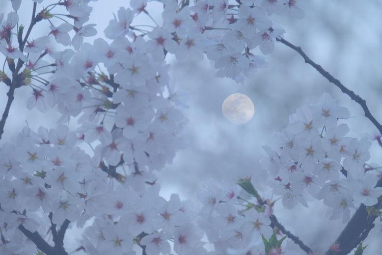 月見桜 Cherry Blossoms Moon Double Exposure Fantasy Photography Mission Mystery Looking Into The Future Exploring New Ground Getting Inspired