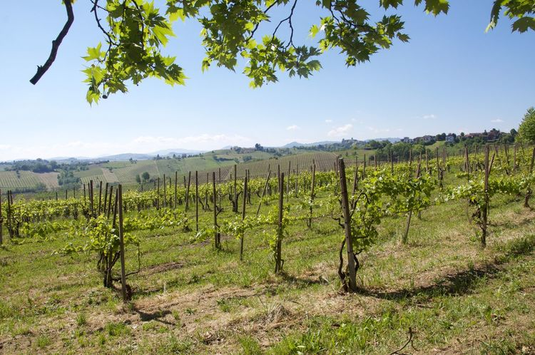 Agriculture Beauty In Nature Bonarda Day Field Grapefruit Grapevine Growth Harvest Harvesting Hills Italy Landscape Nature No People Oltrepopavese Oltrepò Pavese Pavia Pinot Rural Scene Scenics Sky Tree Vineyard Winery