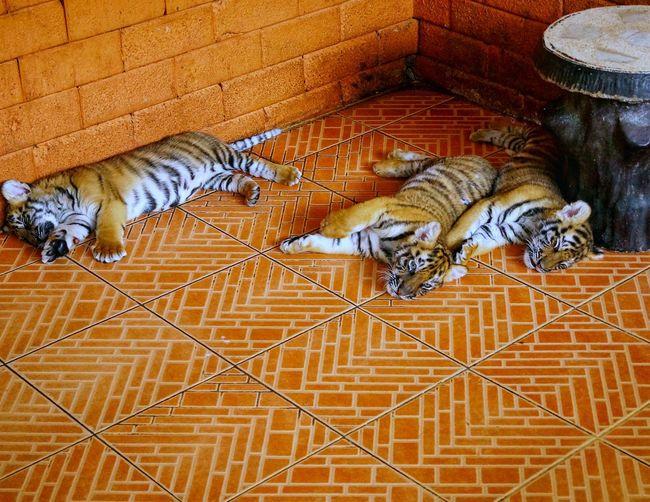 Тайланд, Паттайя, зоопарк Кхао Кхео, маленькиетигрята Thailand, Pattaya, Khao Kheo zoo, little tiger cubs котята Kittens животные Animals Tigerbabies Pets Tiger Feline Animal Themes Close-up