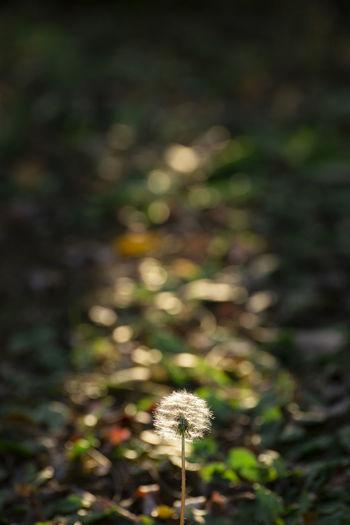 Dandelion Plant Dandelion Freshness Nature Flower Dandelion Seed Field Fall Autumn Sunlight Spotlight