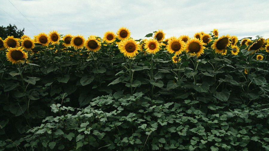 Abundance Agriculture Beauty In Nature Blooming Blossom Botany Day Field Flower Flower Head Flowering Plant Freshness Growing Growth In Bloom Nature Outdoors Plant Sky Sunflower Yellow