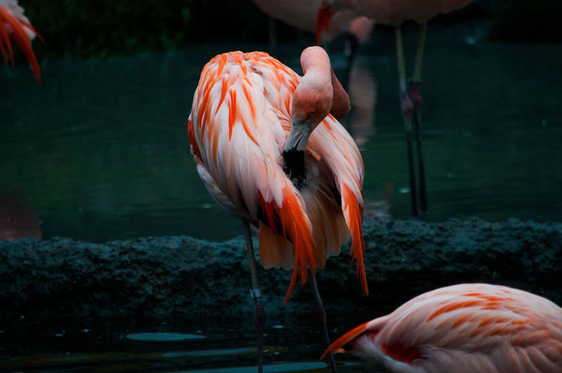 EyeEm Best Shots EyeEm Nature Lover EyeEmNewHere Flamingo Pink Zurich Zoo Animal Themes Animal Wildlife Animals In The Wild Beauty In Nature Bird Close-up Day Eye Flamingo Focus On Foreground Nature No People One Animal Outdoors Pink Color Water