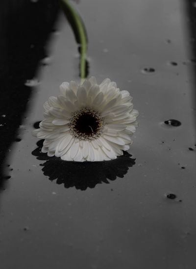 Beauty In Nature Flower Flower Head Nature Puddle Reflections Puddleography Reflection_collection White
