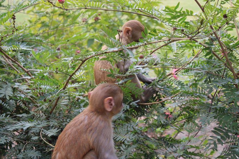 Young Rhesus Macaque feeding Mammal Animal Wildlife Tree Plant Animals In The Wild Vertebrate