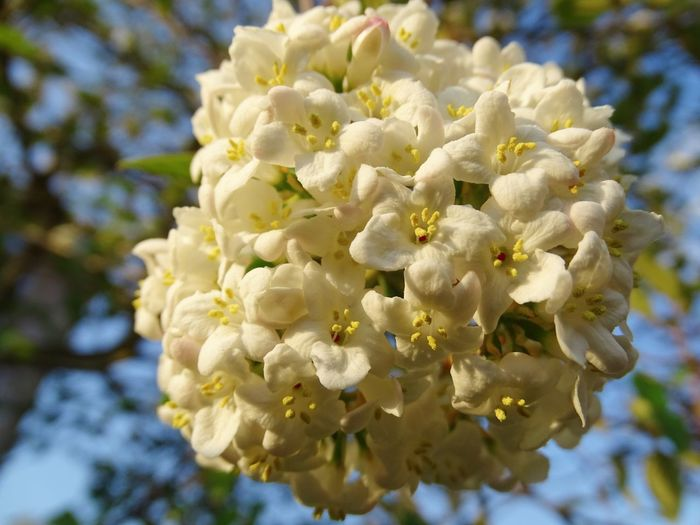 Freshness Schneeball Viburnum Roseum Blooming Blossom Day Front View No People Outdoors