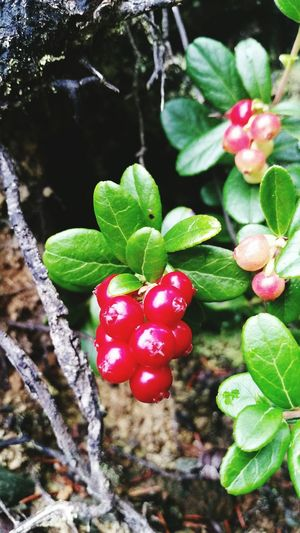 Cranberries in my forest Cranberries Foresthills Skaun Norway 2015