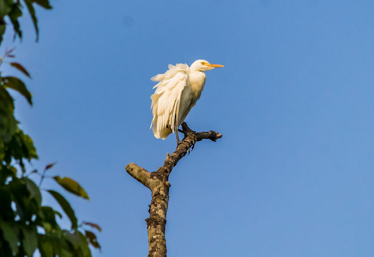 Egret in the