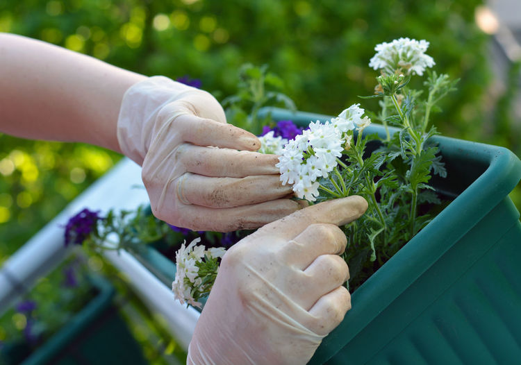 Cropped image of person gardening flowering plant in container