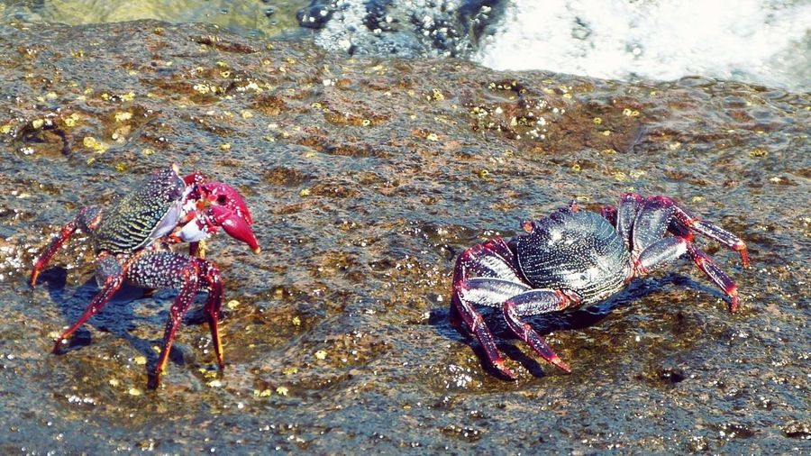 Two Crabs🦀🦀 Beauty In Nature Outdoor Pictures Outdoor Photography Playa De Mogán Red Texture SHELLFISH  Crab